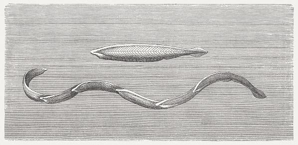 Lancelet Clip Art, Vector Images & Illustrations.