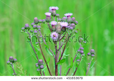 Cirsium Stock Photos, Royalty.
