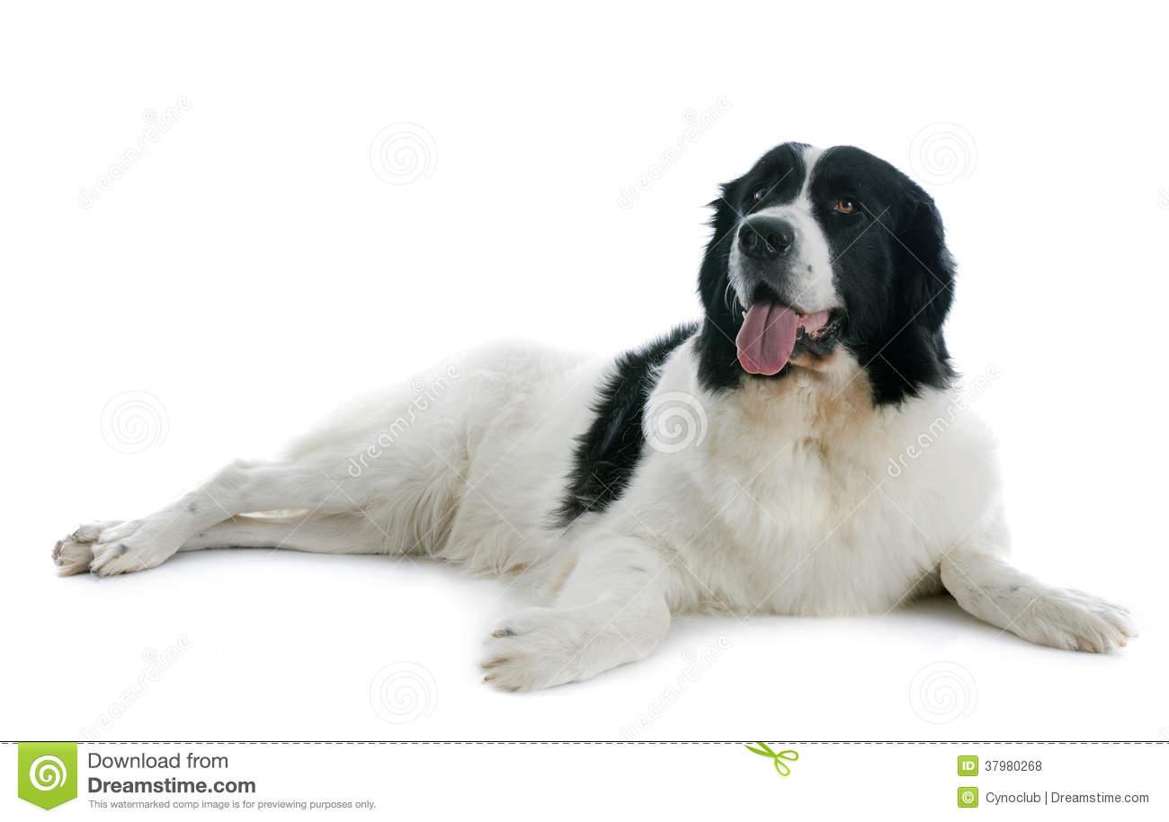 Black And White Newfoundland Dog Or Landseer Stock Photo.