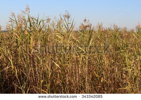 Cordgrass Stock Photos, Images, & Pictures.