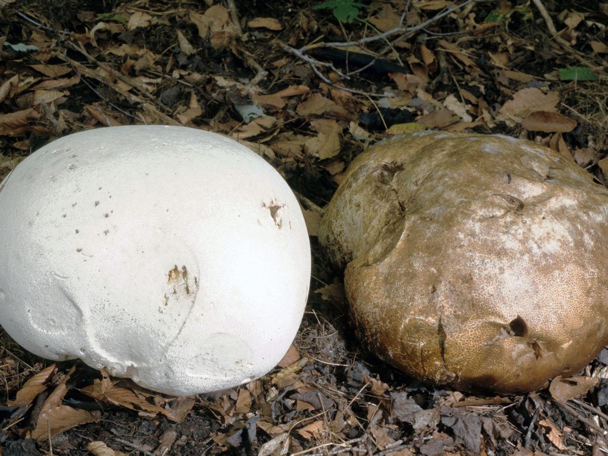Calvatia (Langermannia) gigantea.