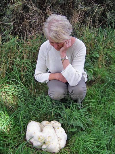 Calvatia gigantea, Giant Puffball, identification.
