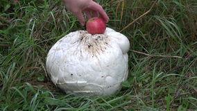 Big Mushroom Giant Puffball Langermannia Gigantea Stock Footage.