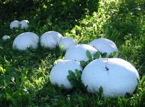 Funghi: Langermannia gigantea.