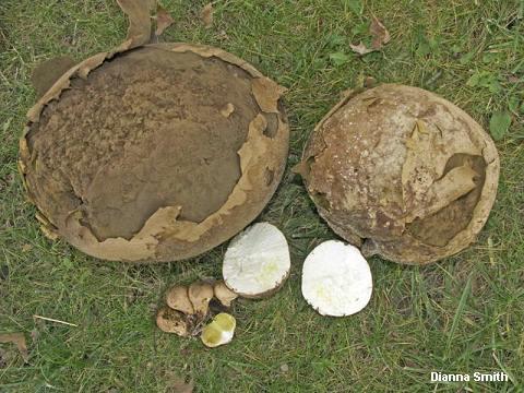 Calvatia gigantea (MushroomExpert.Com).