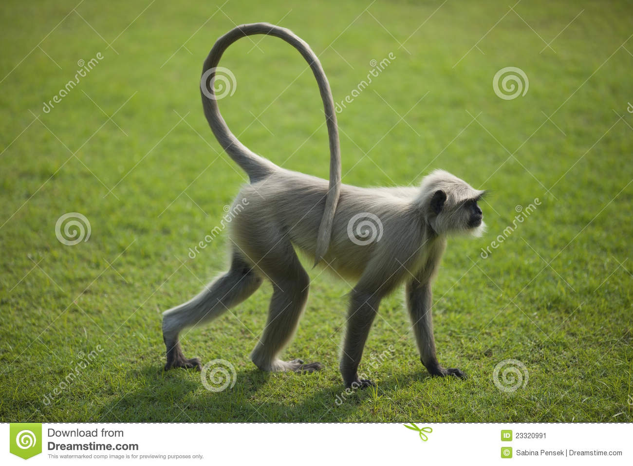 Monkey Langur Or Hanuman On The Green Grass In Ind Stock Image.
