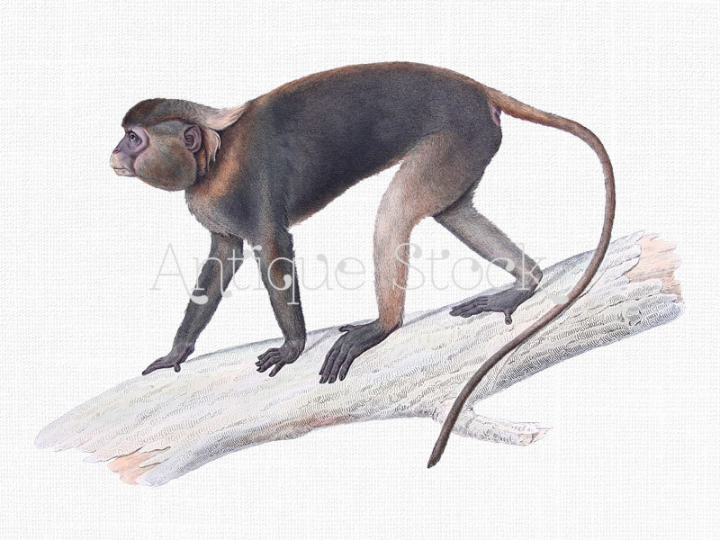 Monkey CLipart 'Gray Langur' Digital Image by AntiqueStock on Etsy.