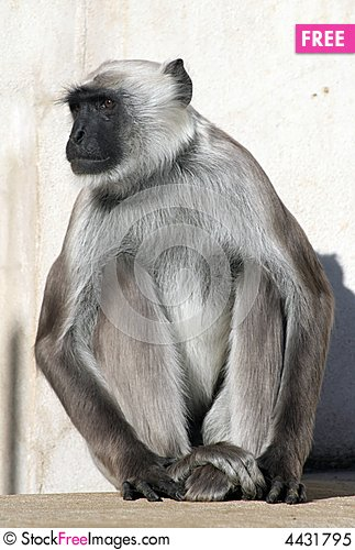 Grey Langur Monkey.