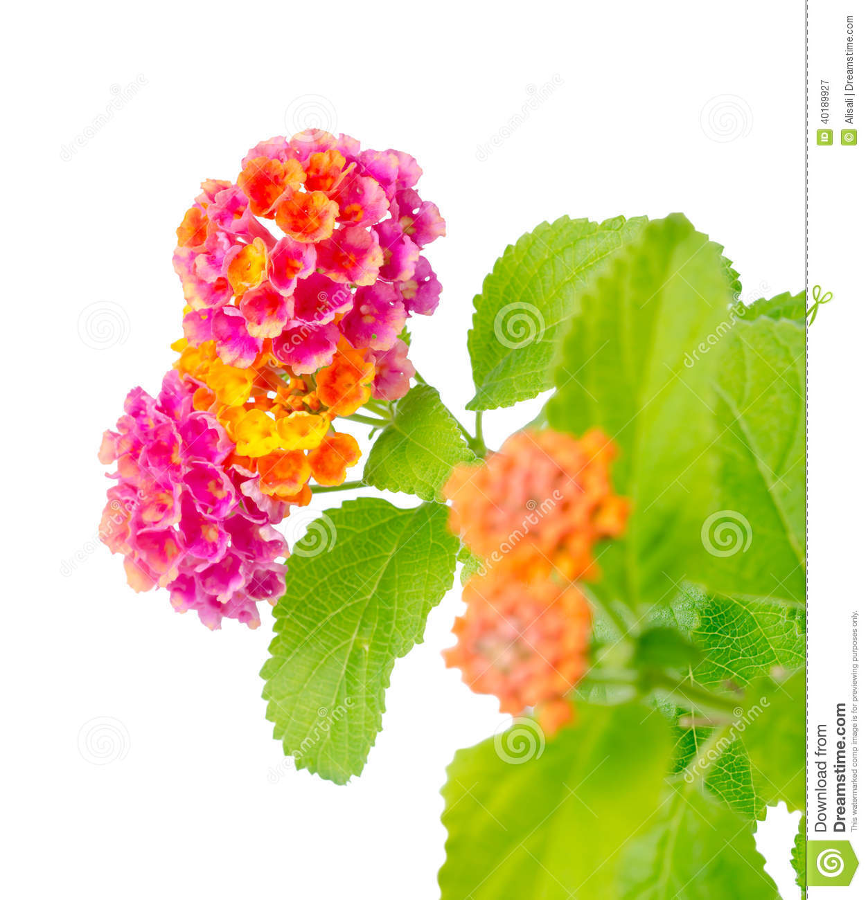 Flower Lantana Camara Isolated On White Stock Photo.