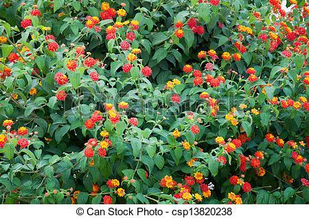 Stock Photos of flowering shrub.
