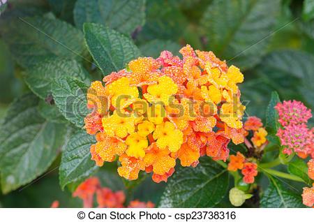 Stock Photography of lantana camara flowers csp23738316.