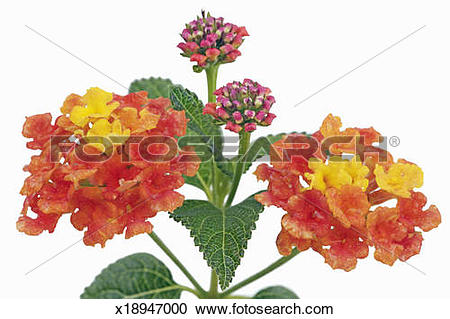 Stock Photography of Spanish flag (lantana camara) x18947000.