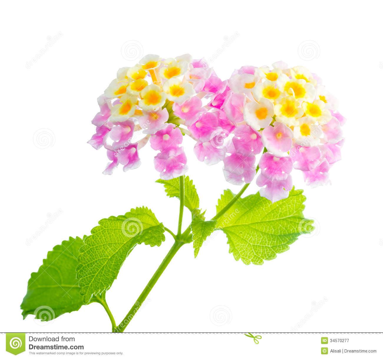 Lantana Flowers Camara Royalty Free Stock Photography.