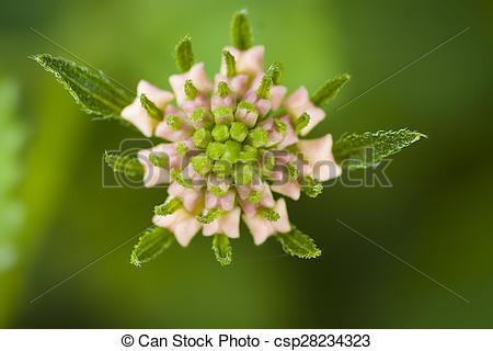Stock Photo of Lantana camara flower in Turkey.