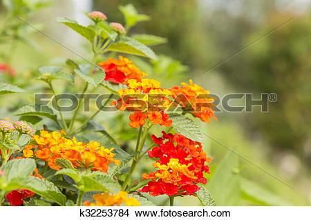 Stock Photo of Beautiful Colorful Hedge Flower, Weeping Lantana.