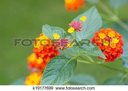 Stock Photograph of Lantana camara flowers k19177699.