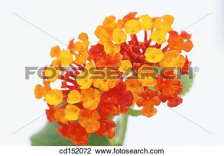 Stock Photo of Common Lantana , Lantana camara cd152072.