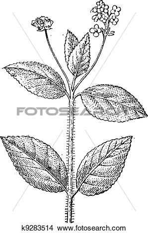 Clipart of Lantana, a flowering plant, vintage engraving. k9283514.