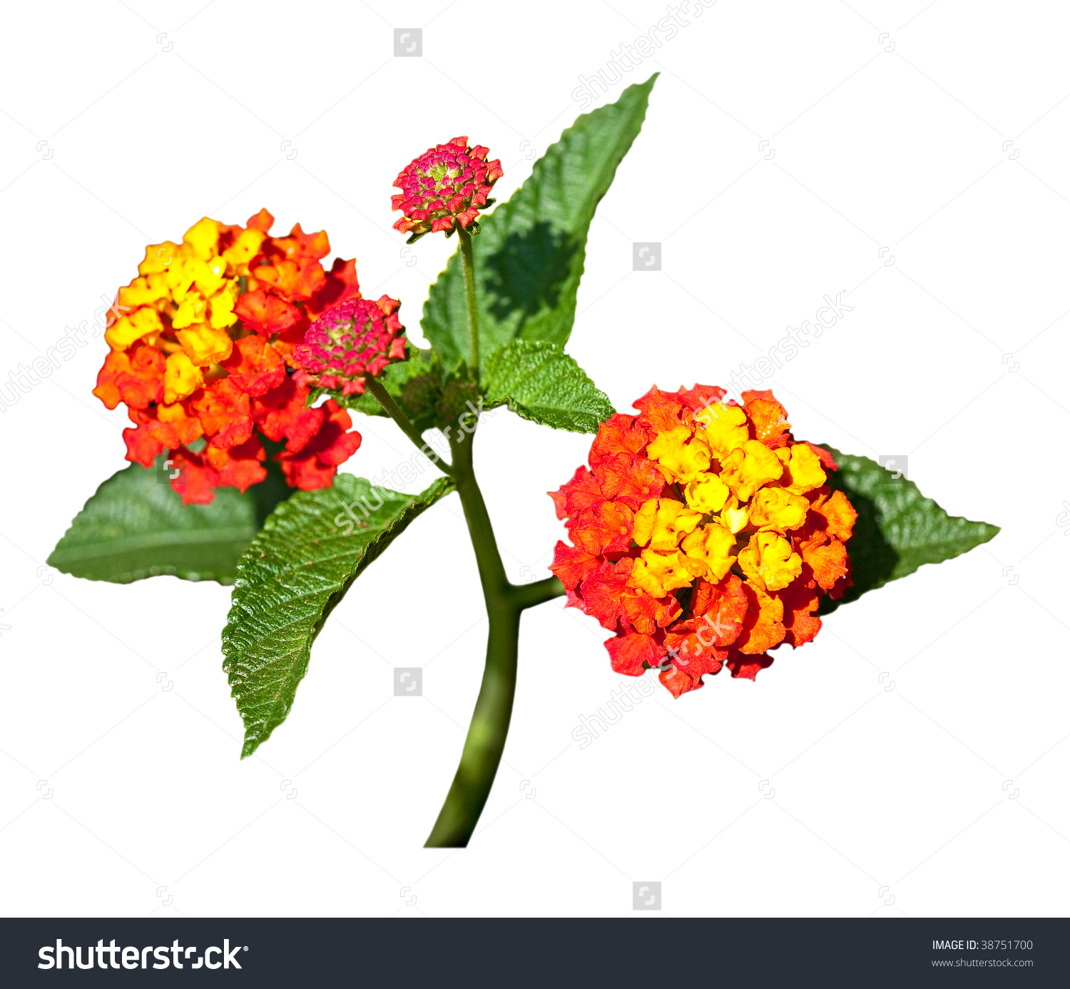 Red Yellow Lantana Flowers Isolated On Stock Photo 38751700.