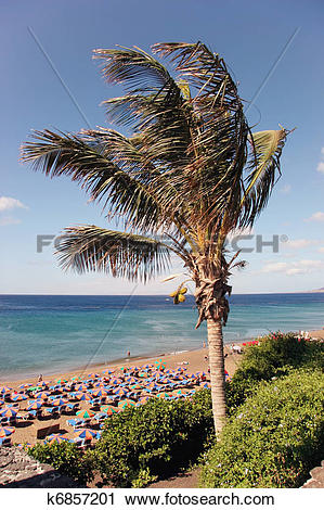 Stock Photography of Coconut Palm (cocos nucifera) tree in.
