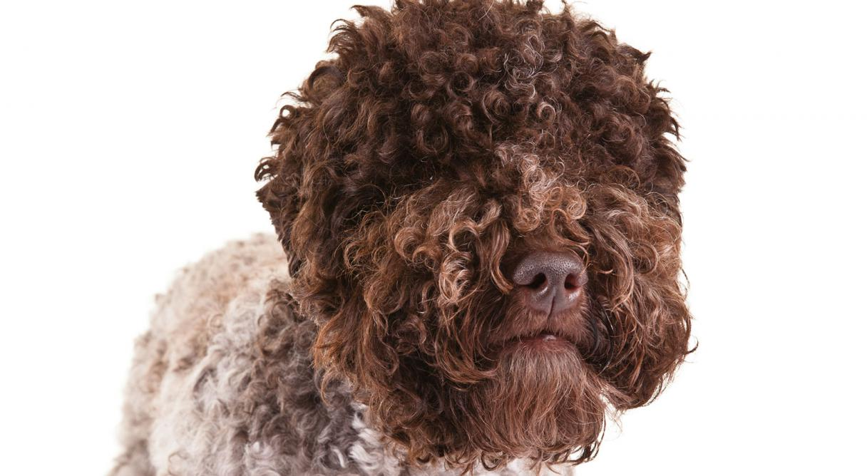 Lagotto Romagnolo Dog Breed Information.