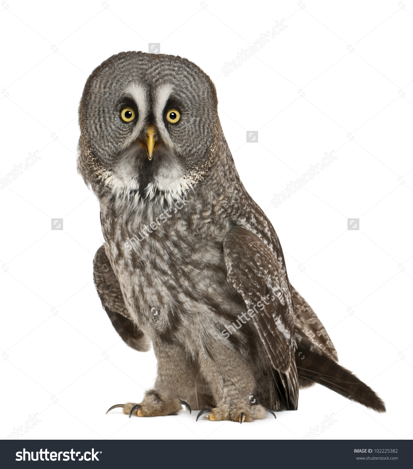 Portrait Great Grey Owl Lapland Owl Stock Photo 102225382.