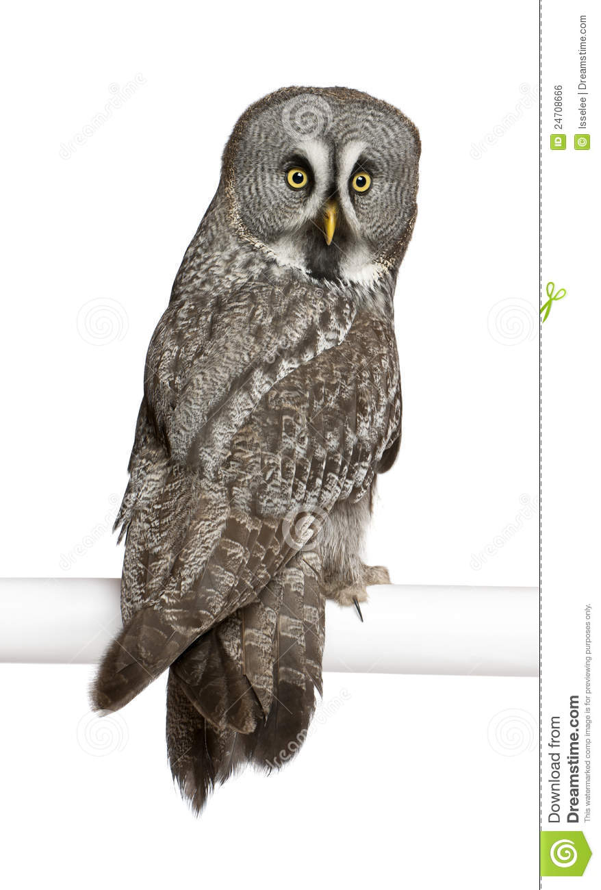 Portrait Of Great Grey Owl Or Lapland Owl Royalty Free Stock Image.