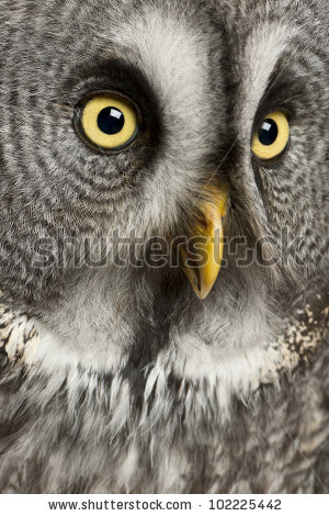 Lapland Owl Stock Photos, Royalty.