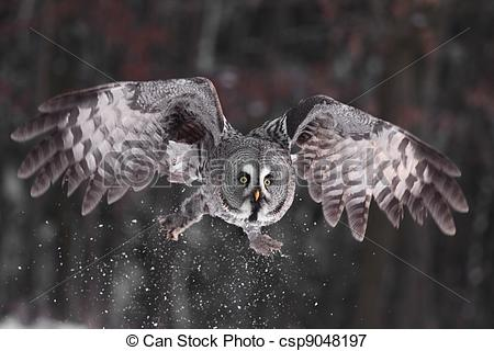Picture of Great Grey Owl or Lapland Owl lat. Strix nebulosa.
