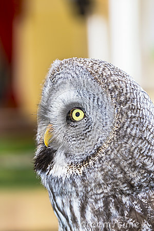 The Great Grey Owl Or Lapland Owl, Strix Nebulosa Royalty Free.
