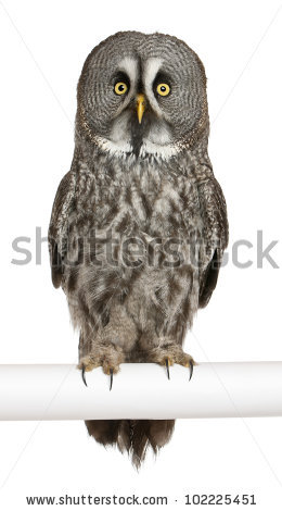 Great Grey Owl Stock Images, Royalty.