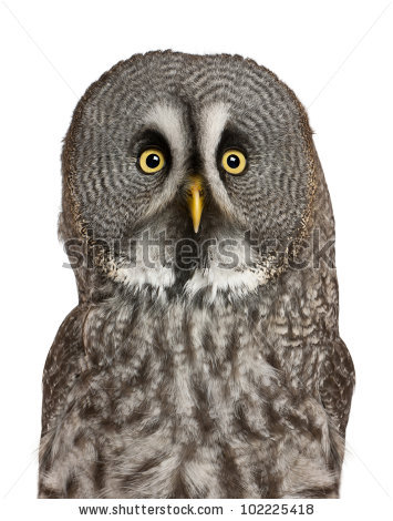 "great Grey Owl Isolated"" Stock Photos, Royalty."
