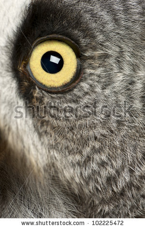 Portrait Great Grey Owl Lapland Owl Stock Photo 102225406.