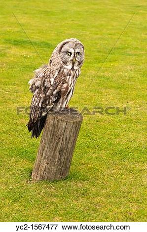 Picture of A captive Great Grey Owl or Lapland Owl , Strix.