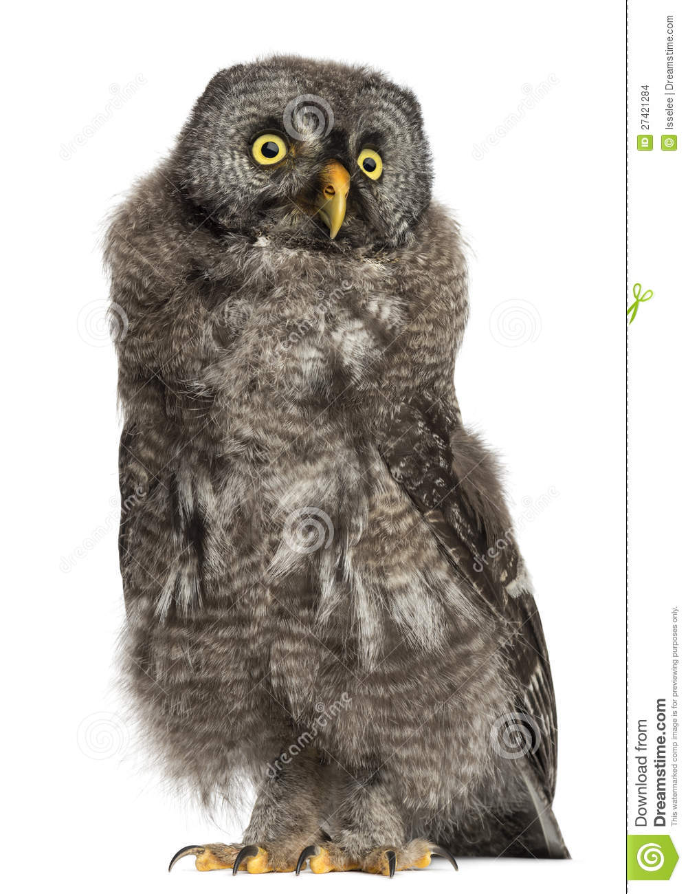 Great Grey Owl Or Lapland Owl, Strix Nebulosa Stock Images.