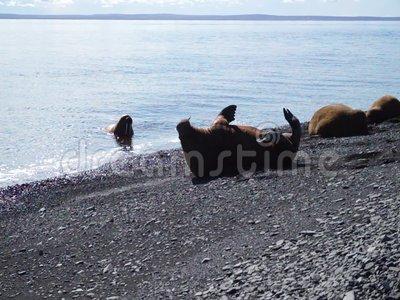 Walruses Laptev Sea. Stock Video.