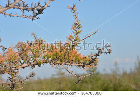 Larch Tree Stock Photos, Royalty.