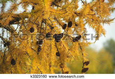Stock Photography of Larch tree with cones and with soft yellow.