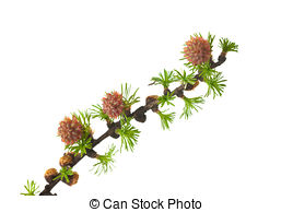 Larch Stock Photo Images. 4,177 Larch royalty free images and.
