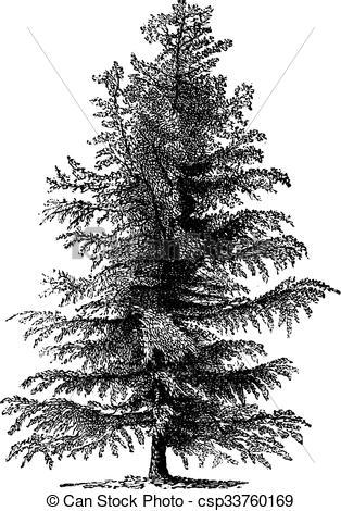 Clip Art Vector of European larch (Larix Europaea) or Larix.