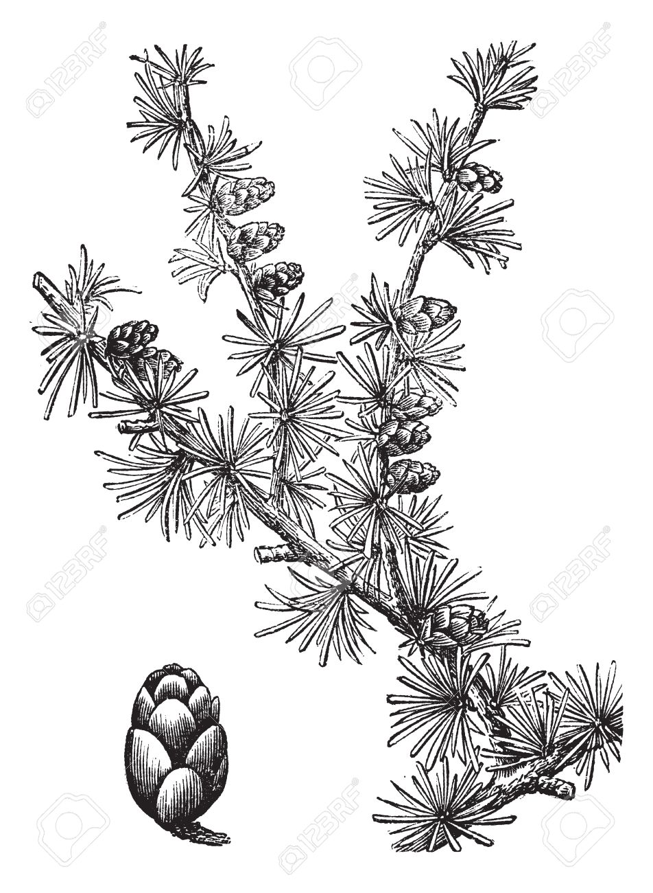 475 Larch Stock Vector Illustration And Royalty Free Larch Clipart.