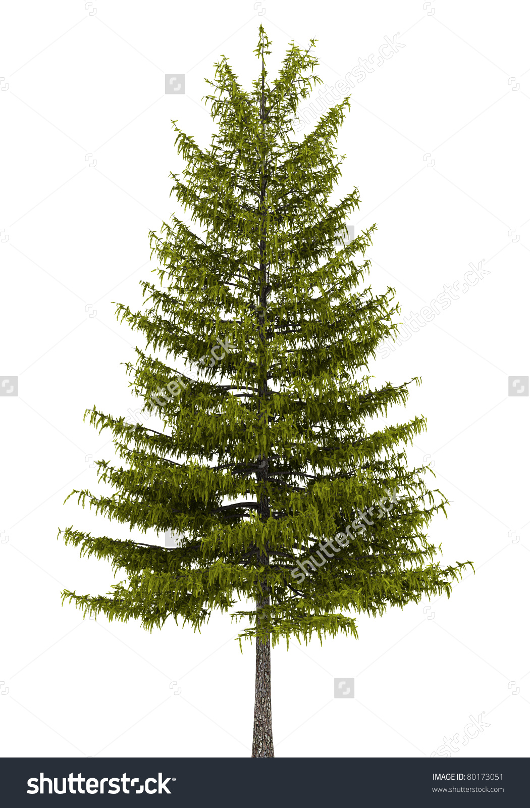 European Larch Tree Isolated On White Stock Illustration 80173051.