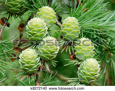 Stock Photography of Larch cones k8272140.