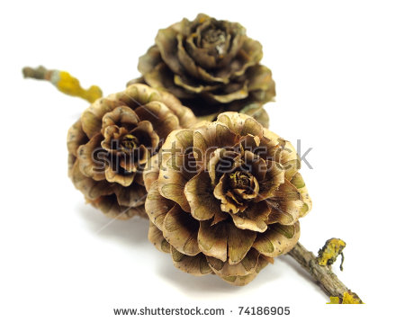 Larch Cone Stock Photos, Royalty.