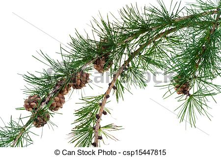 Pictures of pine cones on branch of conifer tree.