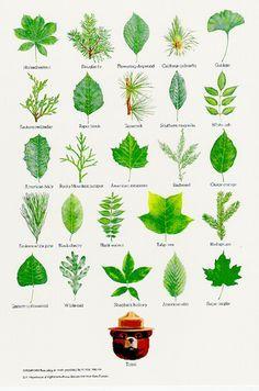 Orobanchaceae.