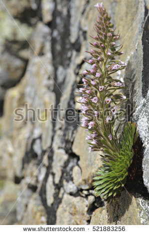 """saxifraga Plant"" Stock Photos, Royalty."