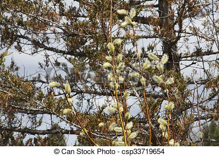 Stock Images of Pussy Willow (Salix discolor).