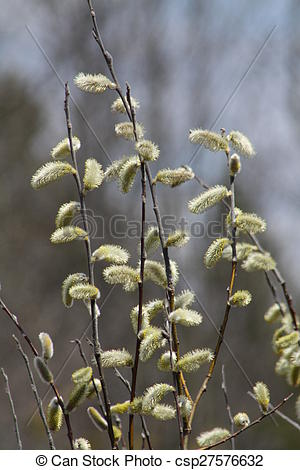 Stock Photos of Pussy Willow (Salix discolor).