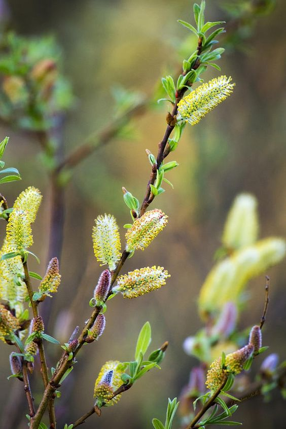 Colorful Spring Pussy Willows.